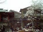 桜咲く毘沙門天